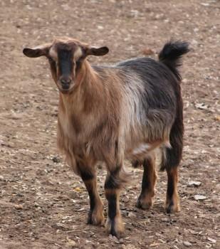 Bells Goats Annie