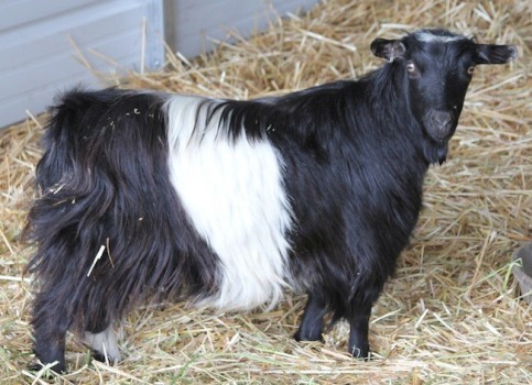 Bells Goats Fancy Girl