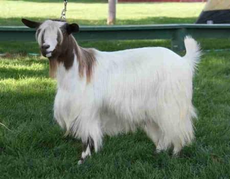 Bells Goats Jean