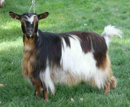 Bells Goats Jackie