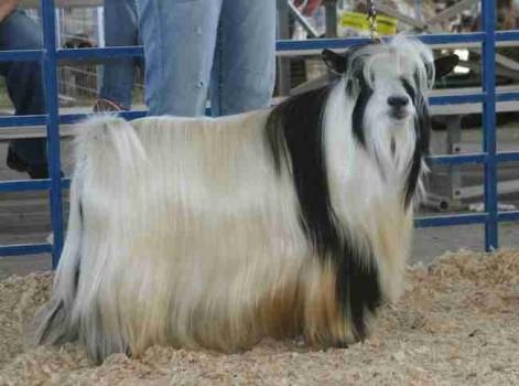 MCH Bells Goats Elvis