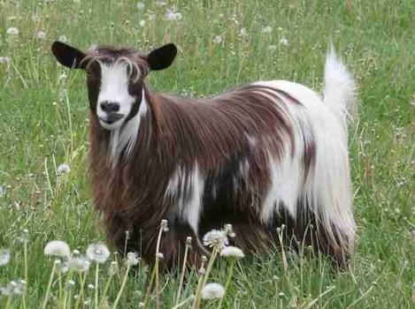 Bells Goats Janet