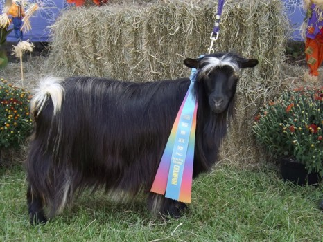 Bells Goats Enchanted 2015