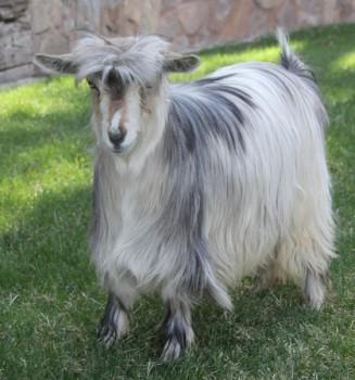 Bells Goats Moxie Girl Dreamer